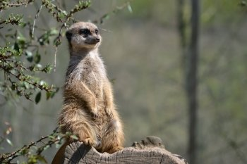 Preview Meerkat's - Mongoose