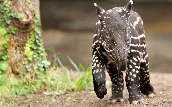 Preview Tapir