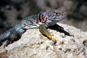 Preview Lizard