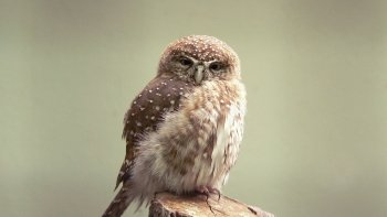 Preview Animals: Owl