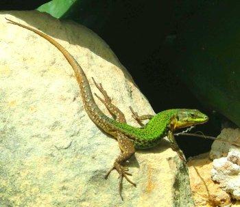 Preview lizards