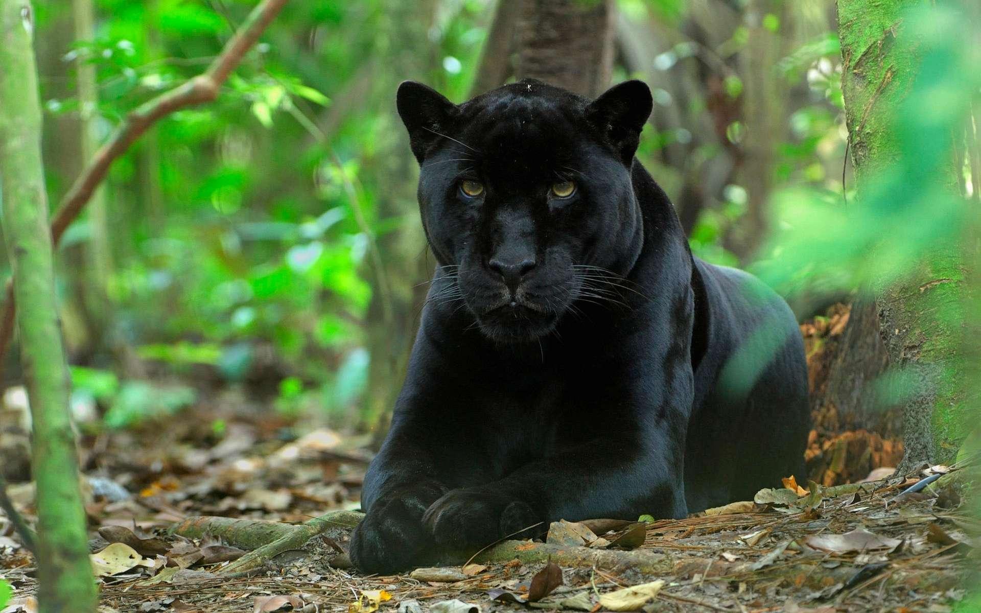 Скрап бумага, картинки с черной пантерой в джунглях