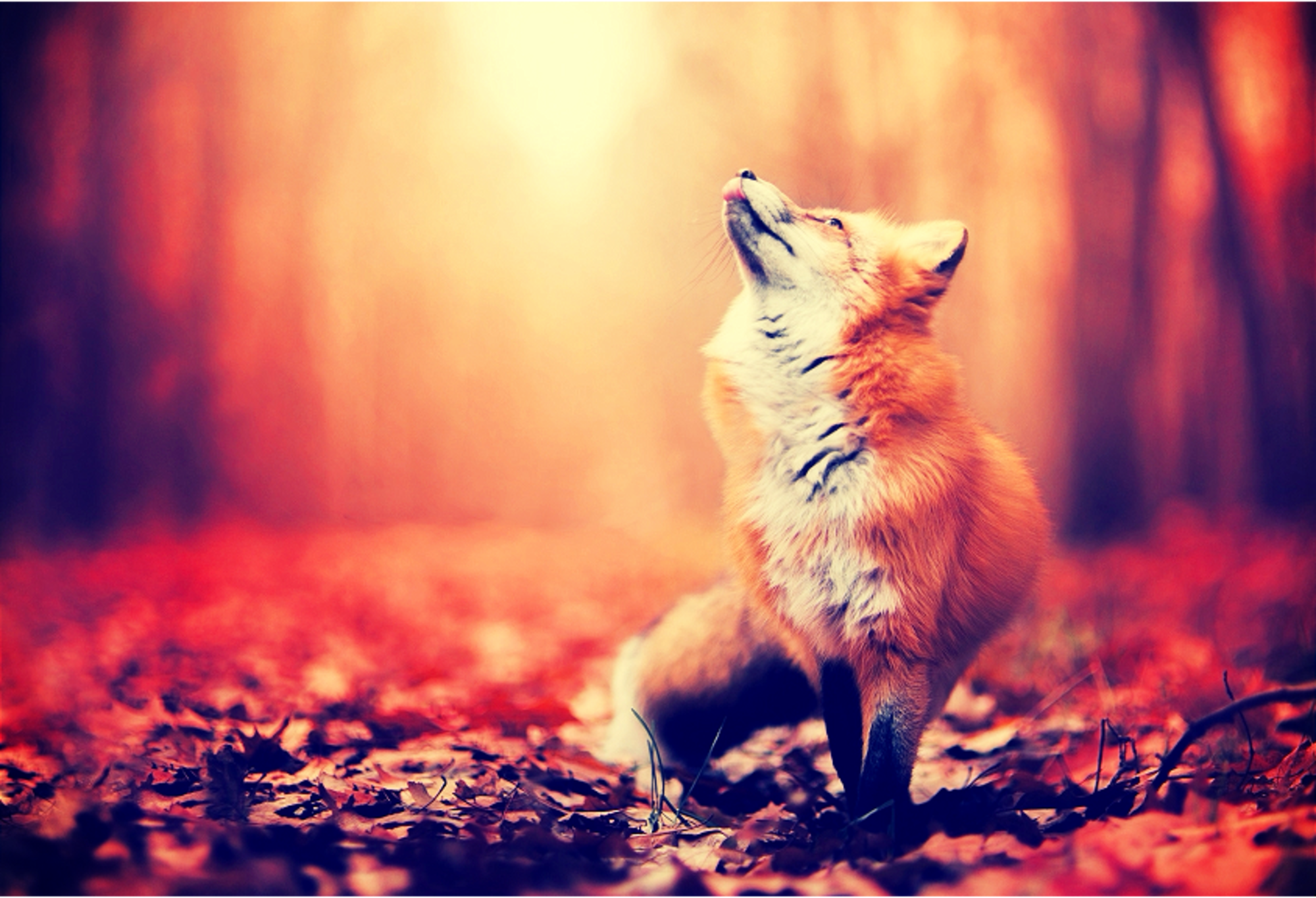 Preview Animals: Fox