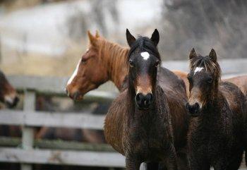 Gallery ID: 6285 Horses