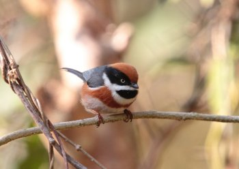 Preview Animals: Titmouse