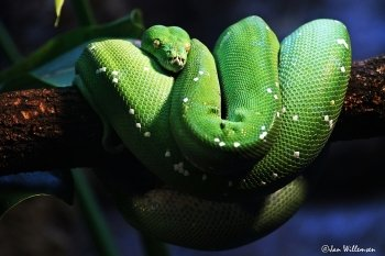 Preview Animals: Snake