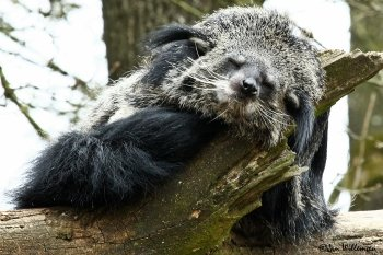 Preview Animals: Binturong