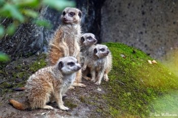 Preview Animals: Meerkat