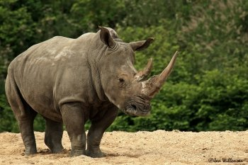 Preview Animals: Rhino