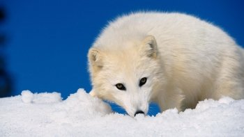 Sub-Gallery ID: 10364 Arctic Fox