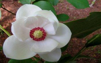 Preview Magnolia